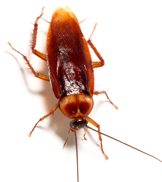 Cockroach Treatments Cairns Pest Removal Peter Amp Paul