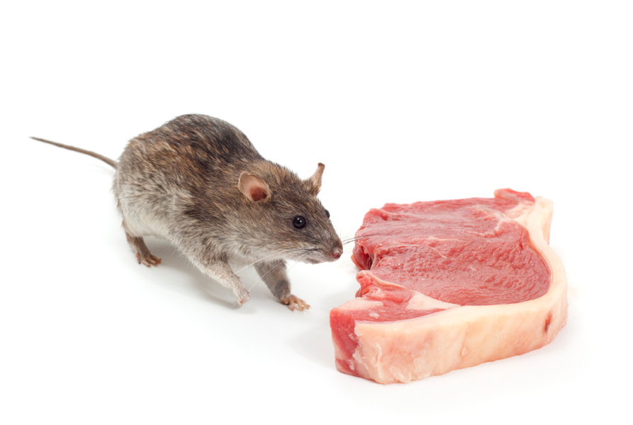 Rodent Treatments For Rats And Mice Cairns Pest Removal