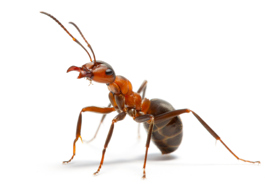 Ant Treatments - Cairns Pest Removal - Peter & Paul\'s Pest Control