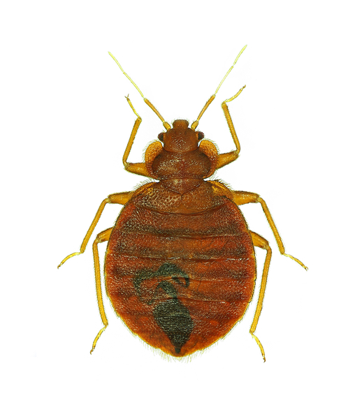 Bed Bug Treatments Peter Paul S Pest Control