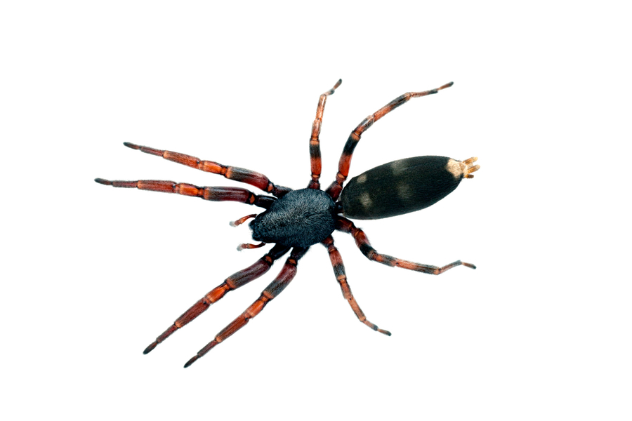 Spider Treatments Cairns Pest Removal Peter amp Pauls