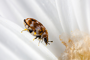 Carpet Beetle Treatments Peter Amp Paul S Pest Control